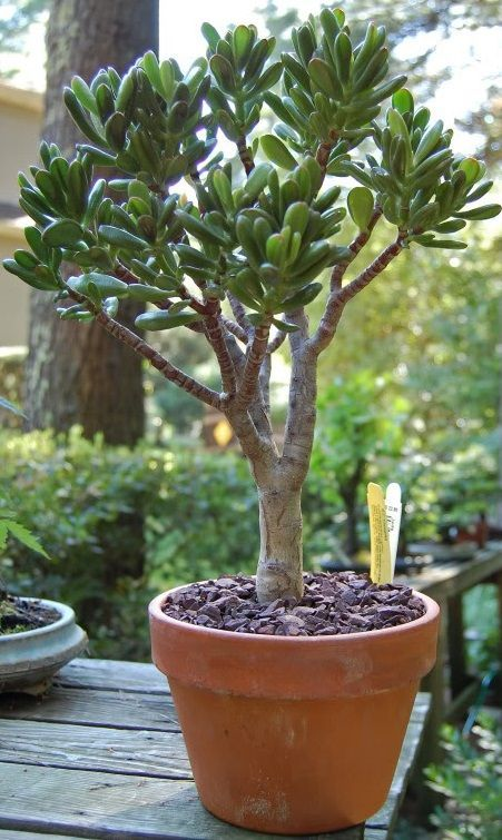 les 25 meilleures id es de la cat gorie crassula ovata sur pinterest plantes jade plantes d. Black Bedroom Furniture Sets. Home Design Ideas
