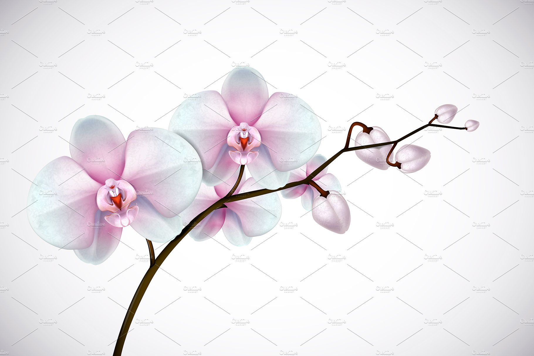 Moon Orchid Set Orchid Flower Orchids Pink Orchids