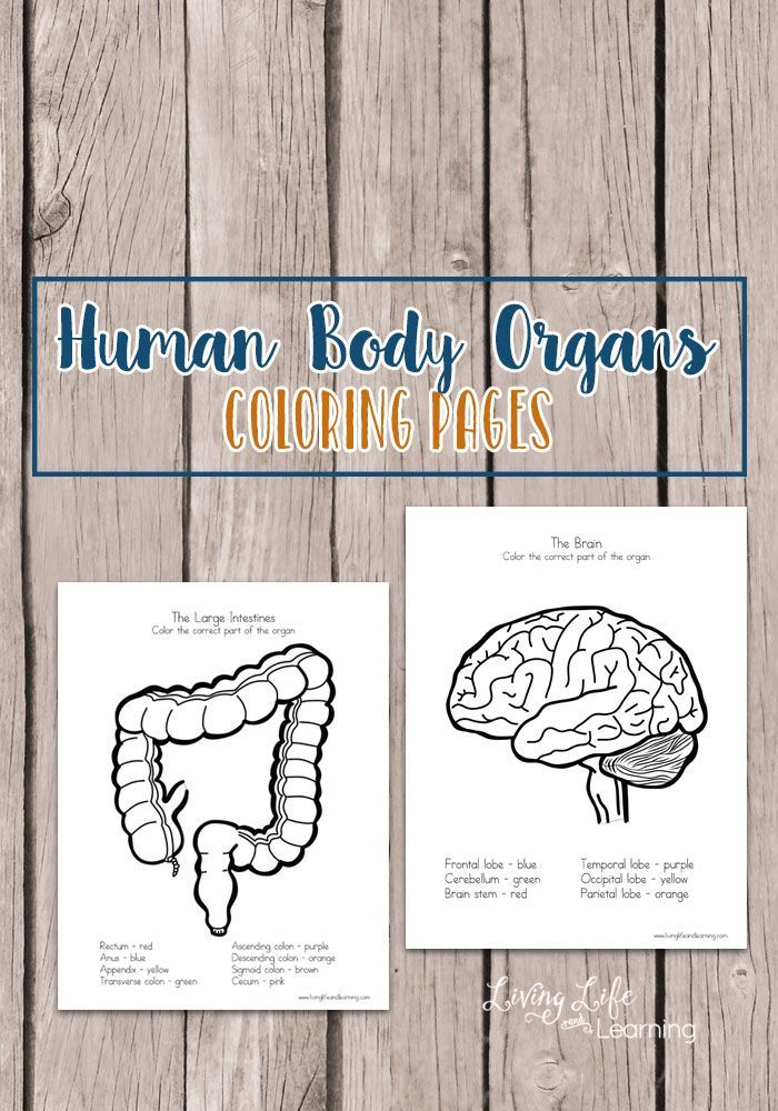 Human Body Organs Coloring Pages for Kids | Cuerpo humano, Ciencia ...