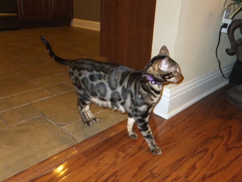 Angel Bengal Kittens For Sale Baton Rouge Louisiana Bengal Kitten Bengal Kittens For Sale Bengal Cat