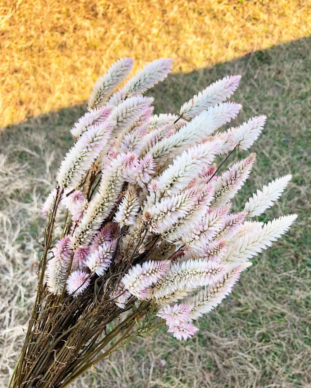 This Flamingo Feather Celosia Was One Of My Favorite Crops We Grew This Year Perfect For Market Bouquets Weddings Dried Flowers My Favorite Things Lovely