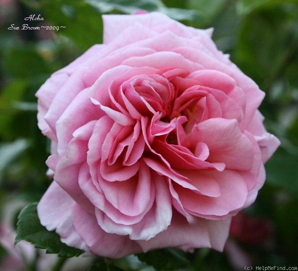 aloha rose another antique rose i added to my garden this past week roses pinterest. Black Bedroom Furniture Sets. Home Design Ideas