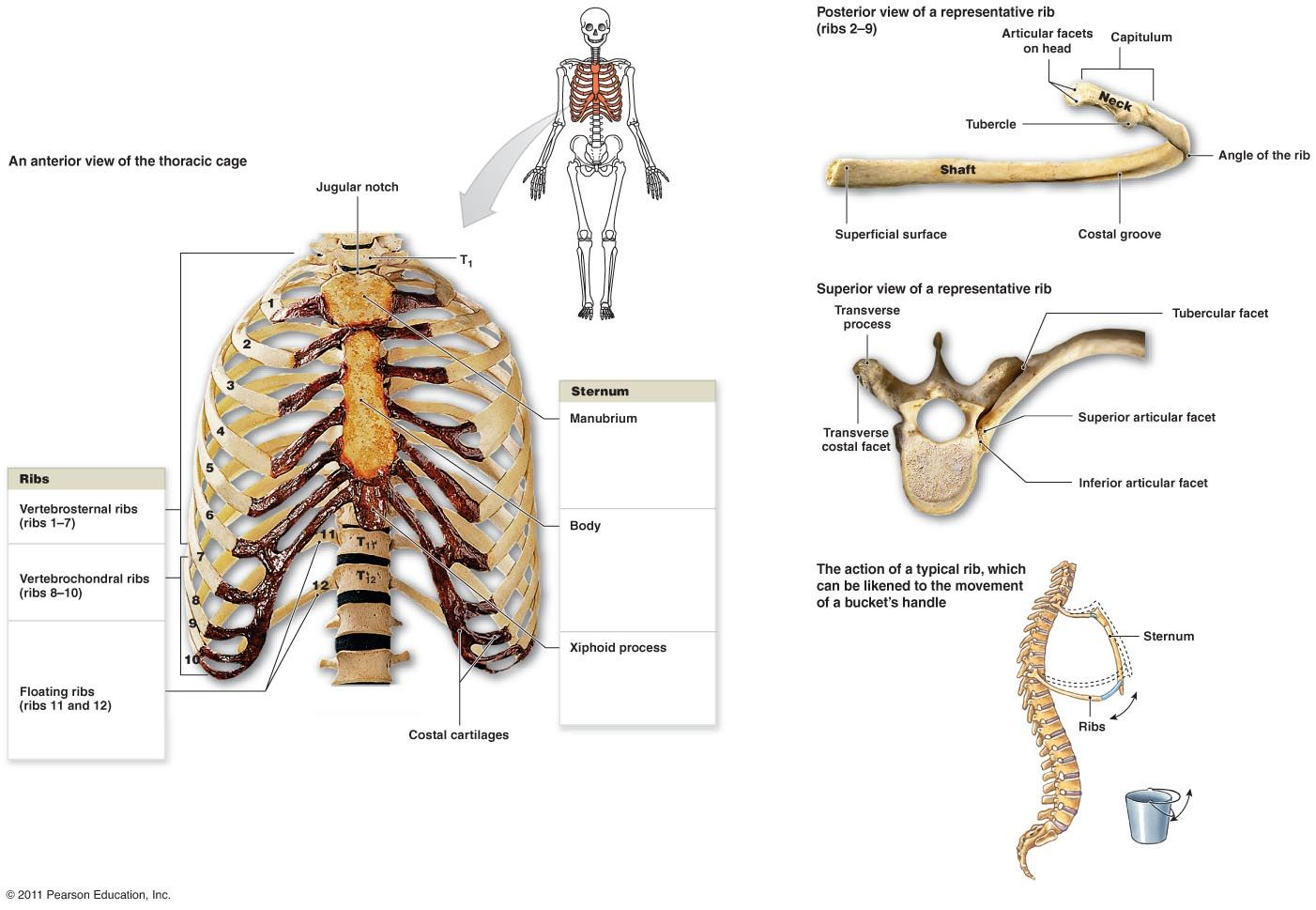 Diagram Of Skeletal Ribs Club Car Precedent Wiring 48 Volt Kinesiology Pinterest System And