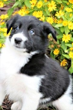 Border Collie Puppy For Sale In Berwick Pa Adn 44411 On