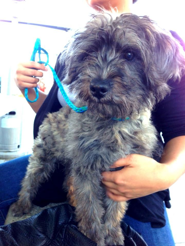My New Furbaby Gorky Male 4mo Old Color Brindle Yorkipoo