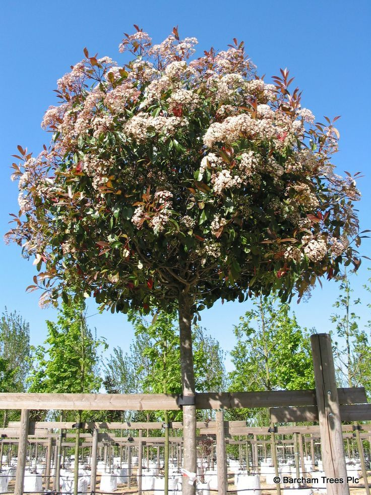 Photinia Fraseri Red Robin In Flower Plants For Roofs And