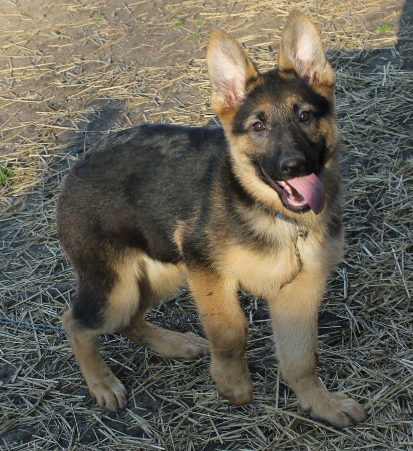 Moving Head 15 W Led Review Dmx 512 German Shepherd Puppies