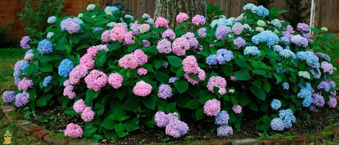 Penny Mac Hydrangea Hydrangeas For Sale Hydrangea Garden Trees To Plant