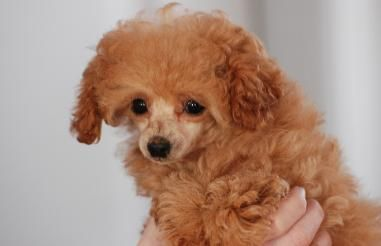 Toy Poodles Arthur Ontario Puppies Poodle Mix Doggy