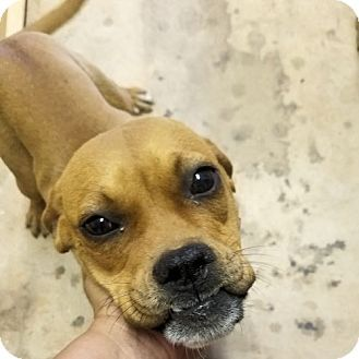 Fredericksburg, VA Boxer Mix. Meet Barbie, a dog for