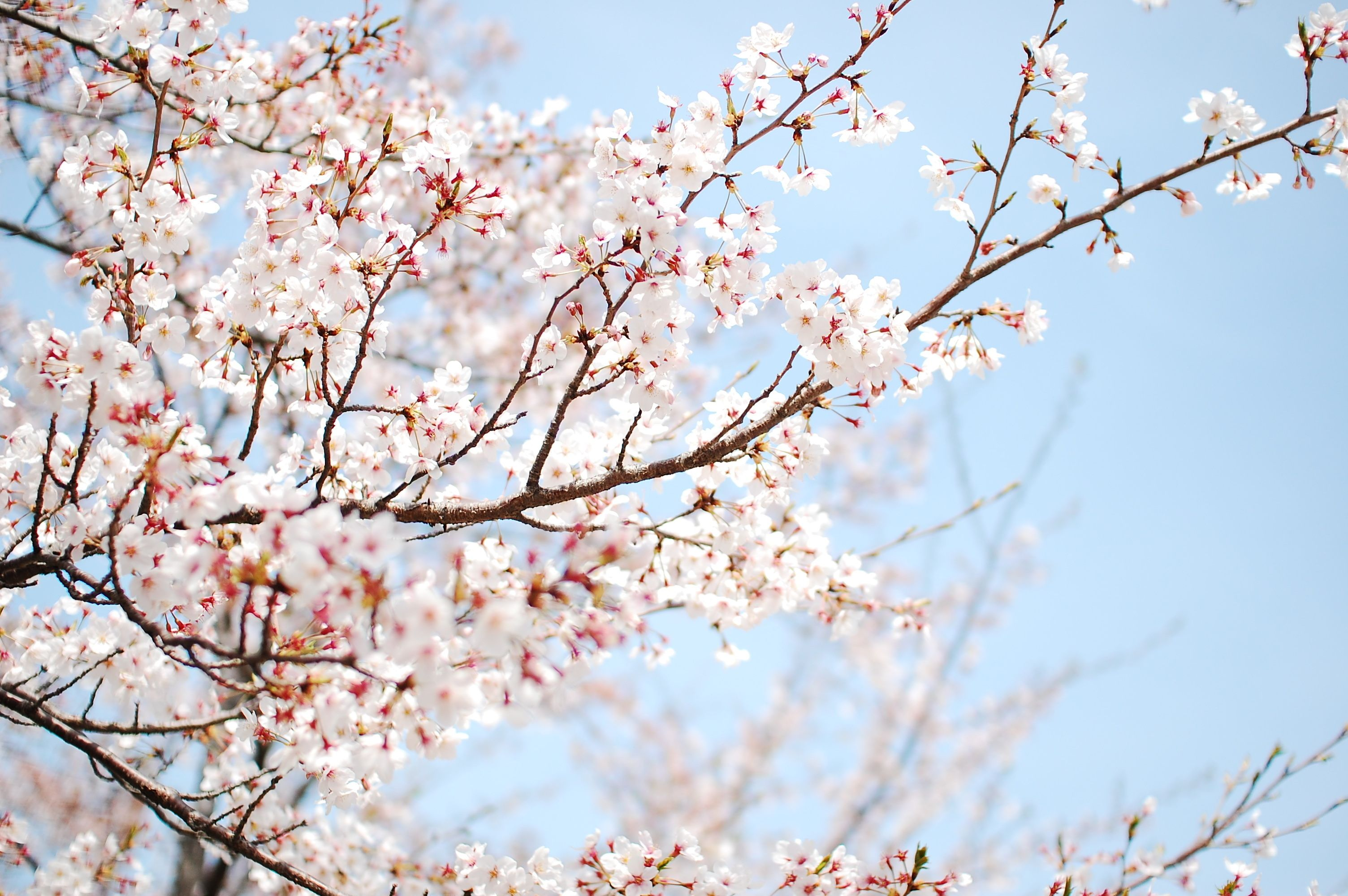 Wallpaper cherry , tree, blossom , sakura, flower, spring