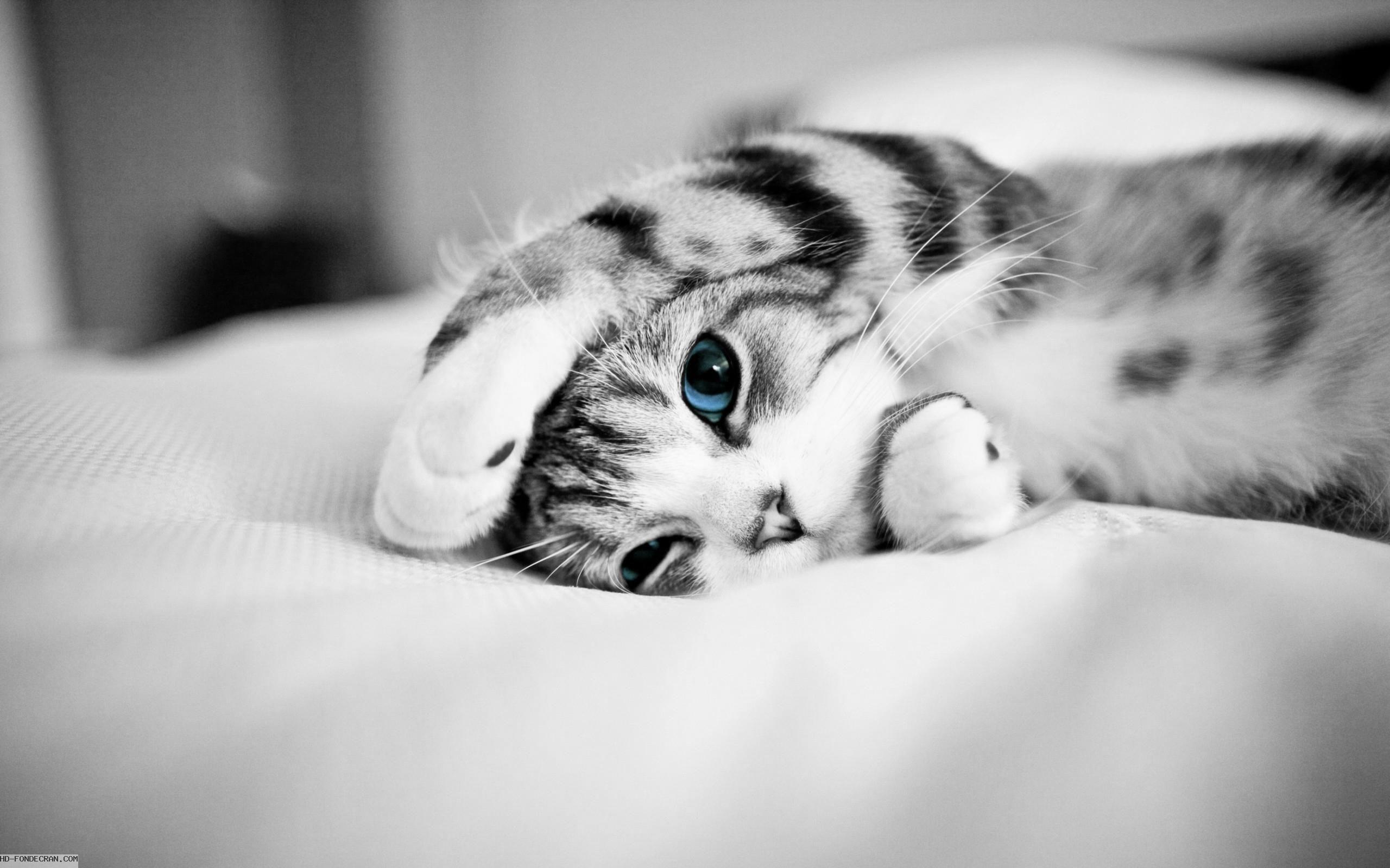 Fond D Ecran Hd Chat Mignon Noir Et Blanc Aux Yeux Bleus
