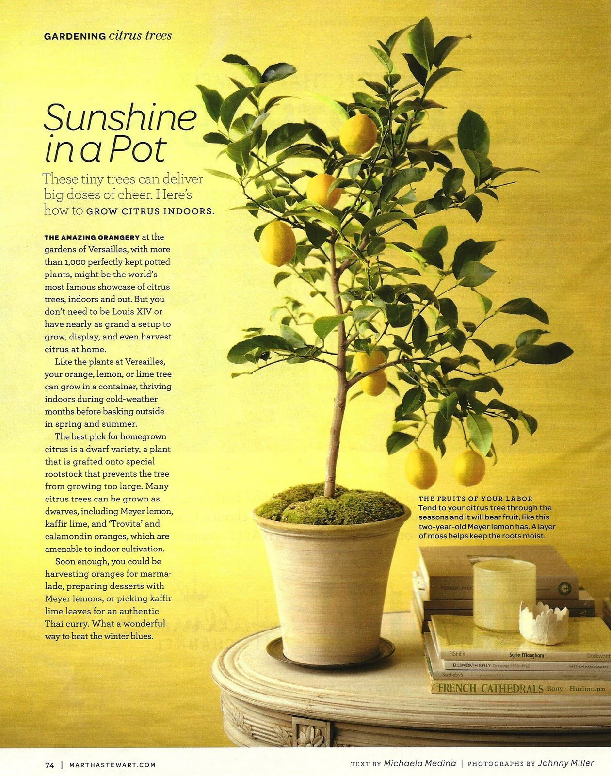 Grow Your Own Lemon Tree Out Of Store Bought Lemons In 11 Easy Steps Indoor Lemon Tree Potted Trees Citrus Trees