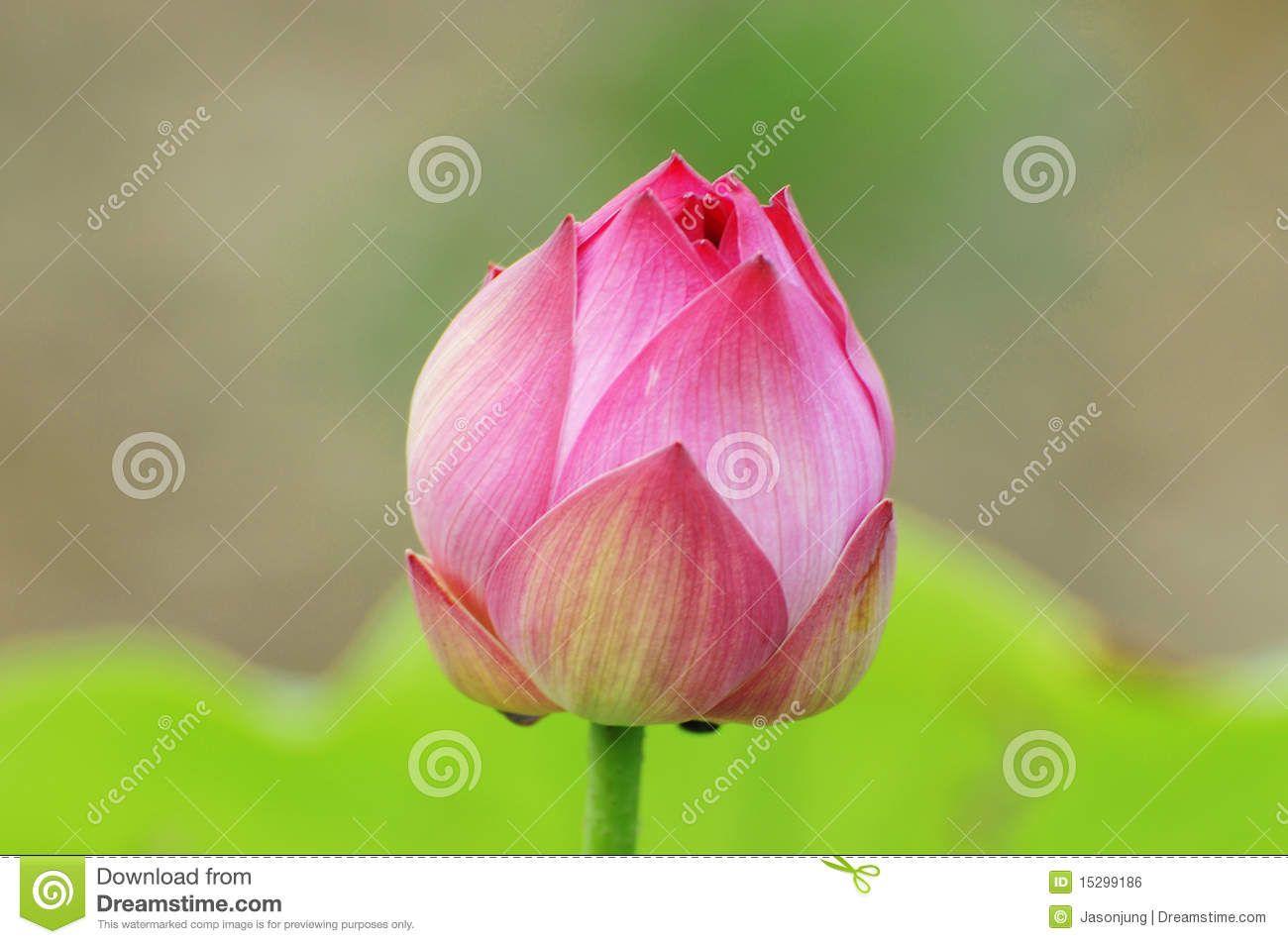 Closed Lotus Bud Tattoo Ideas Pinterest Lotus Lotus Flower