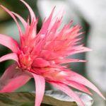 My Bromeliad Won't Flower – Forcing A Bromeliad To Bloom