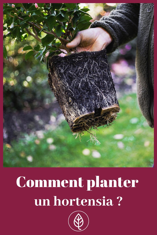 Ou Quand Et Comment Planter Un Hortensia Planter Hortensia Hortensia Et Comment Planter
