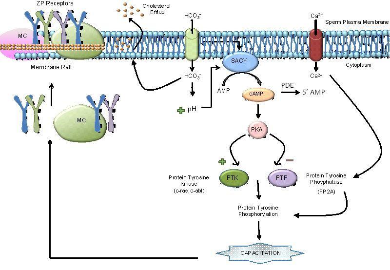 Cell membrane for sperm — img 13