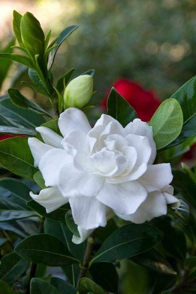 Gardenia 3 Amazing Flowers Pretty Flowers Beautiful Flowers