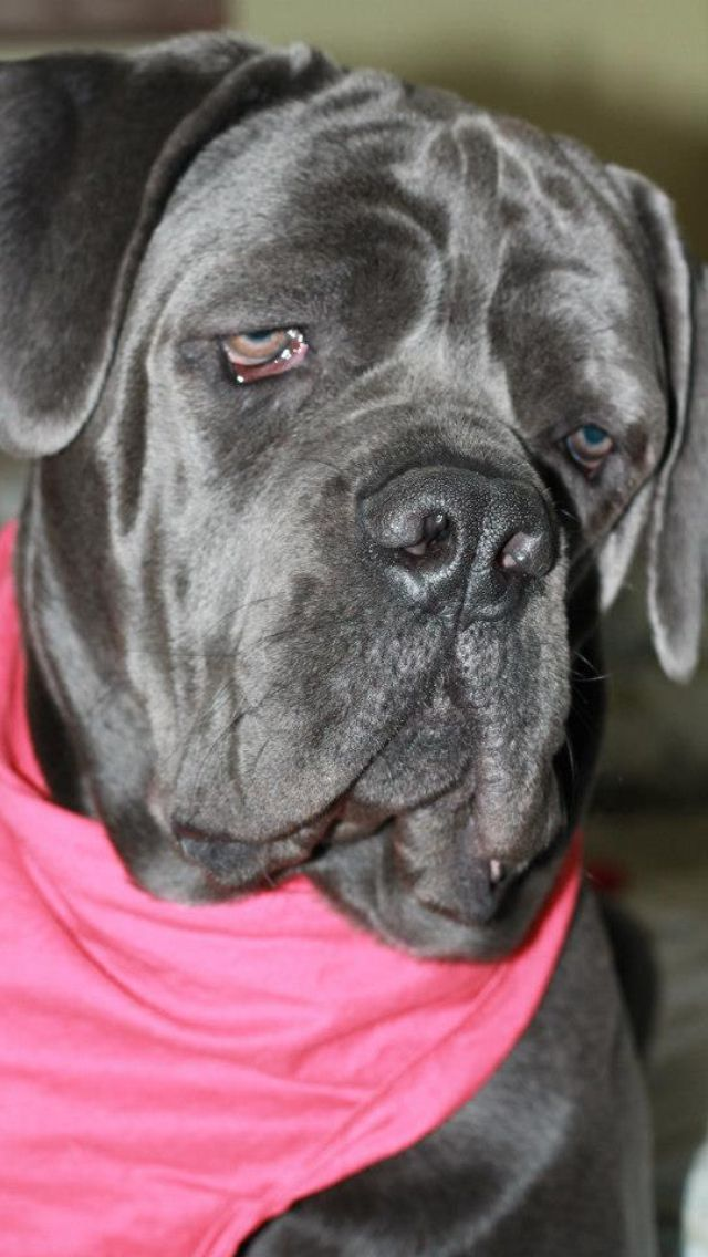 10 months old   Cane corso, Furry friend, Cute animals