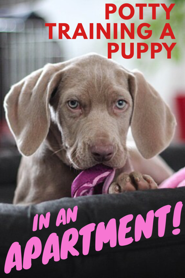 5 Secrets On How To Potty Train A Dog In An Apartment Potty Training Puppy House Training Puppies Dog Potty Training