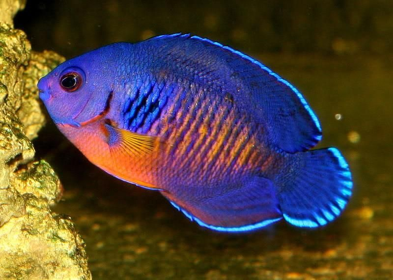 Coral Beauty Angel Centropyge Bispinosa Fish Art Angel Fish Angel
