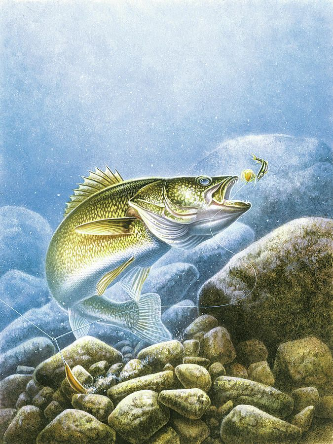 Lindy Walleye By Jq Licensing Fish Drawings Fishing Pictures Fish Painting