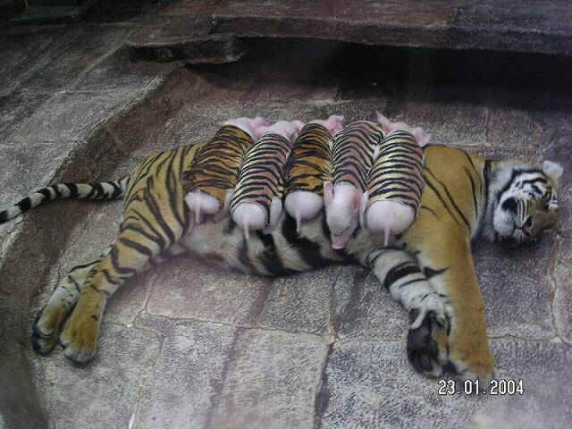 At the Sriracha Tiger Zoo in Thailand, a popular attraction that boasts of 200 tigers, 100,000 crocodiles, trained pigs, elephants, and other animals.  The zoo features creative shows and displays of animals including these pictures of an adult tiger with piglets dressed like tiger cubs.  One of the goals of the zoo is to demonstrate how animals of different species can live peacefully together.  One of the experiments was introducing baby piglets to a mother tiger (who herself had been…