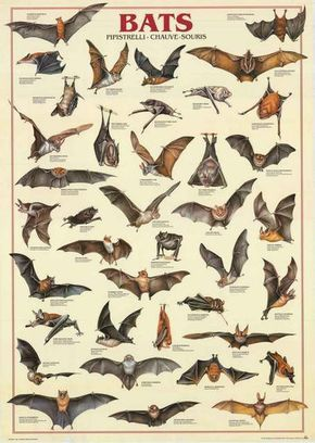 Types Of Bats Chiroptera Animal Education Poster 27x39 Bananaroad