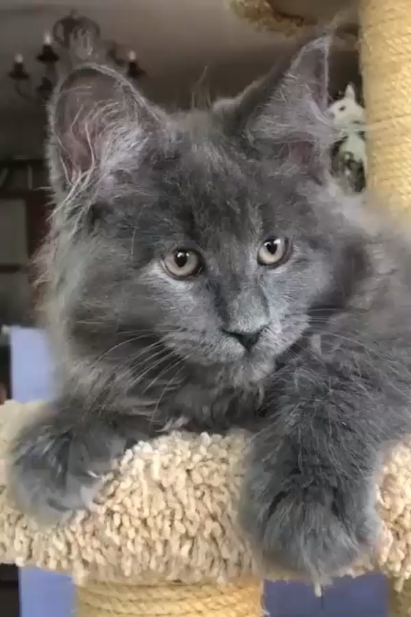 Pin On Maine Coon Cats Adoption