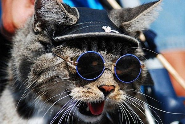Pin On Cats Wearing Glasses