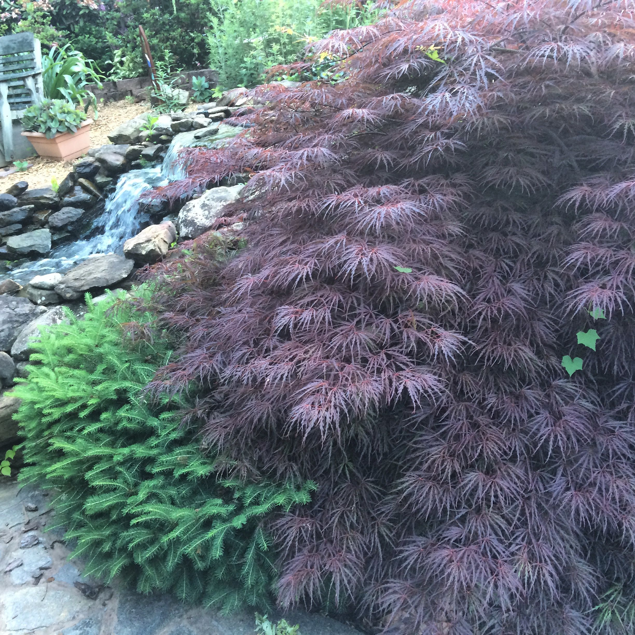 planted about 11 years ago are the bird nest spruce and