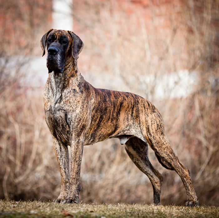 Great Dane Patient And Friendly With Images Brindle Great