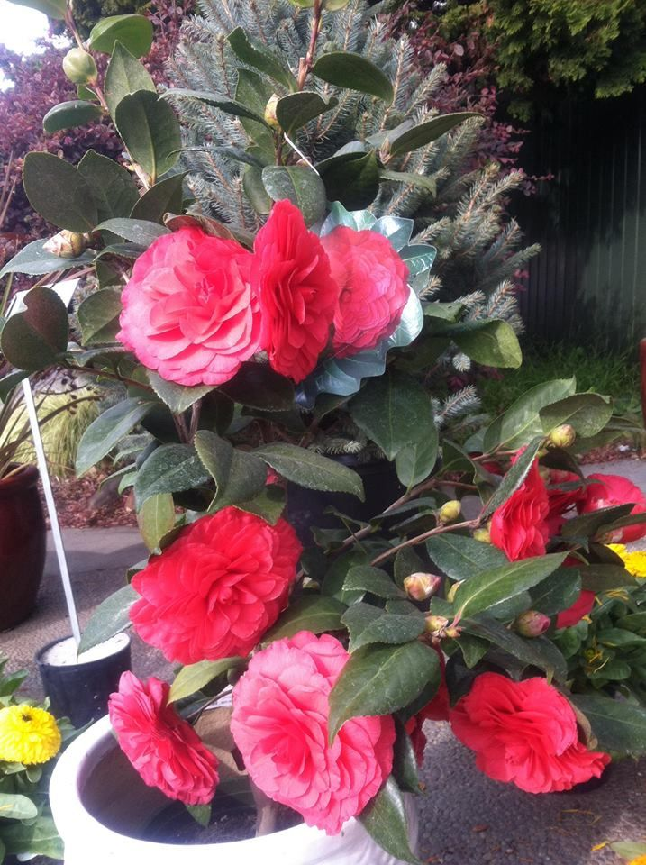 This Beautiful Camellia Is Available At Evergreen Nursery In San Leandro A Addition To