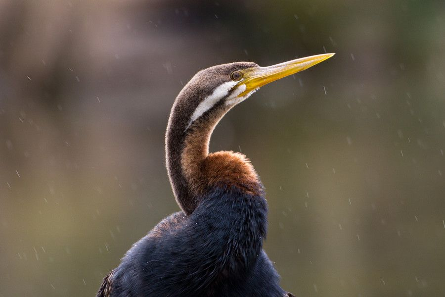 Darter in the drizzle by glenn bemont on 500px