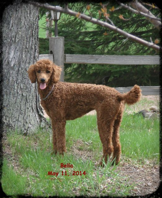 Bella From Araeah S Red Standard Poodles In Wisconsin Standard