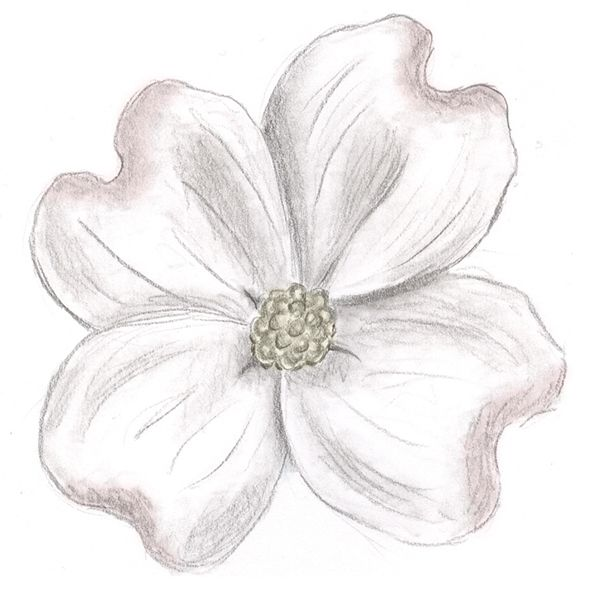 57539415d pencil drawing of a dogwood flower - Google Search | Tattoos ...