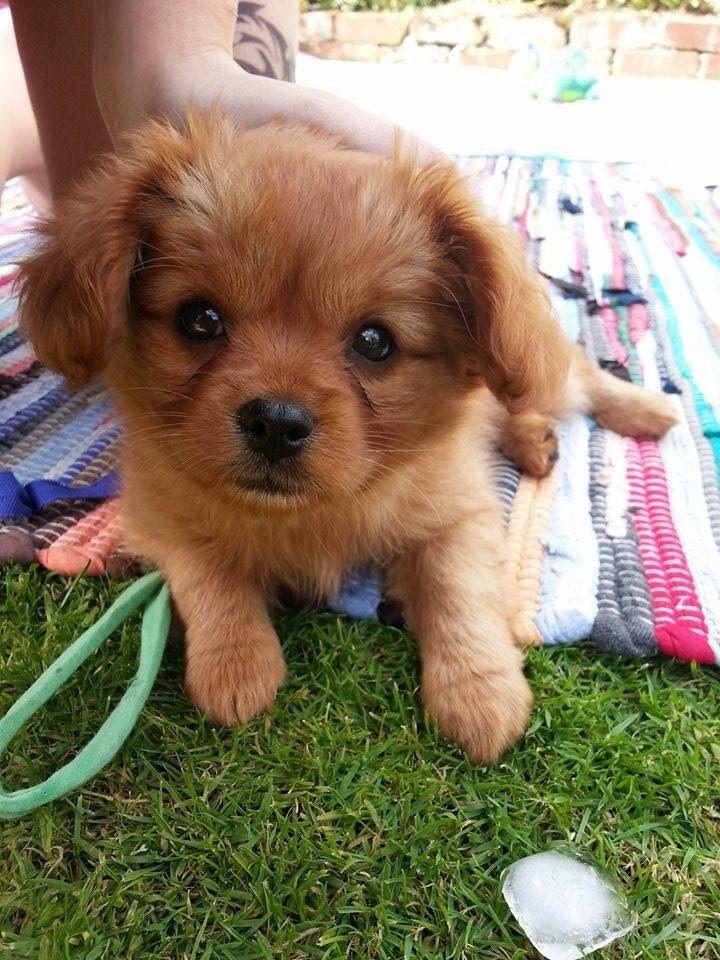 Meet Whiskey My 8 Week Old Cavalier Pomeranian Enjoying Playing