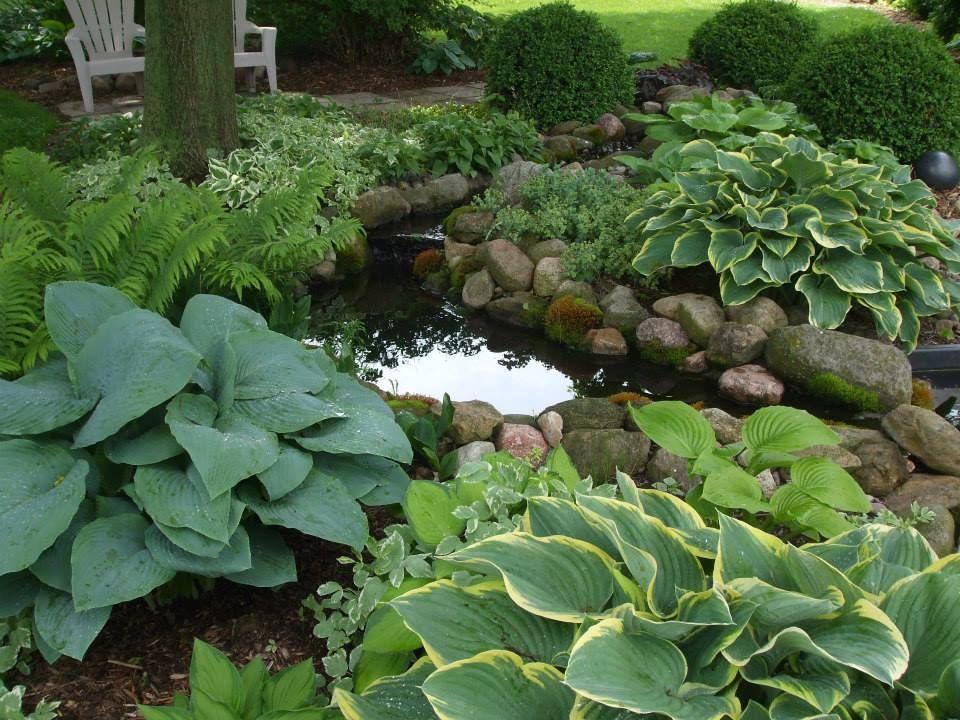 hosta and fern pond