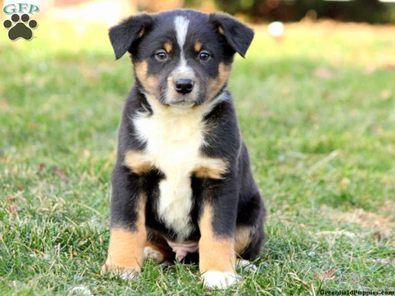 Puppeh Australian Shepherd Mix Puppies Australian Shepherd Mix