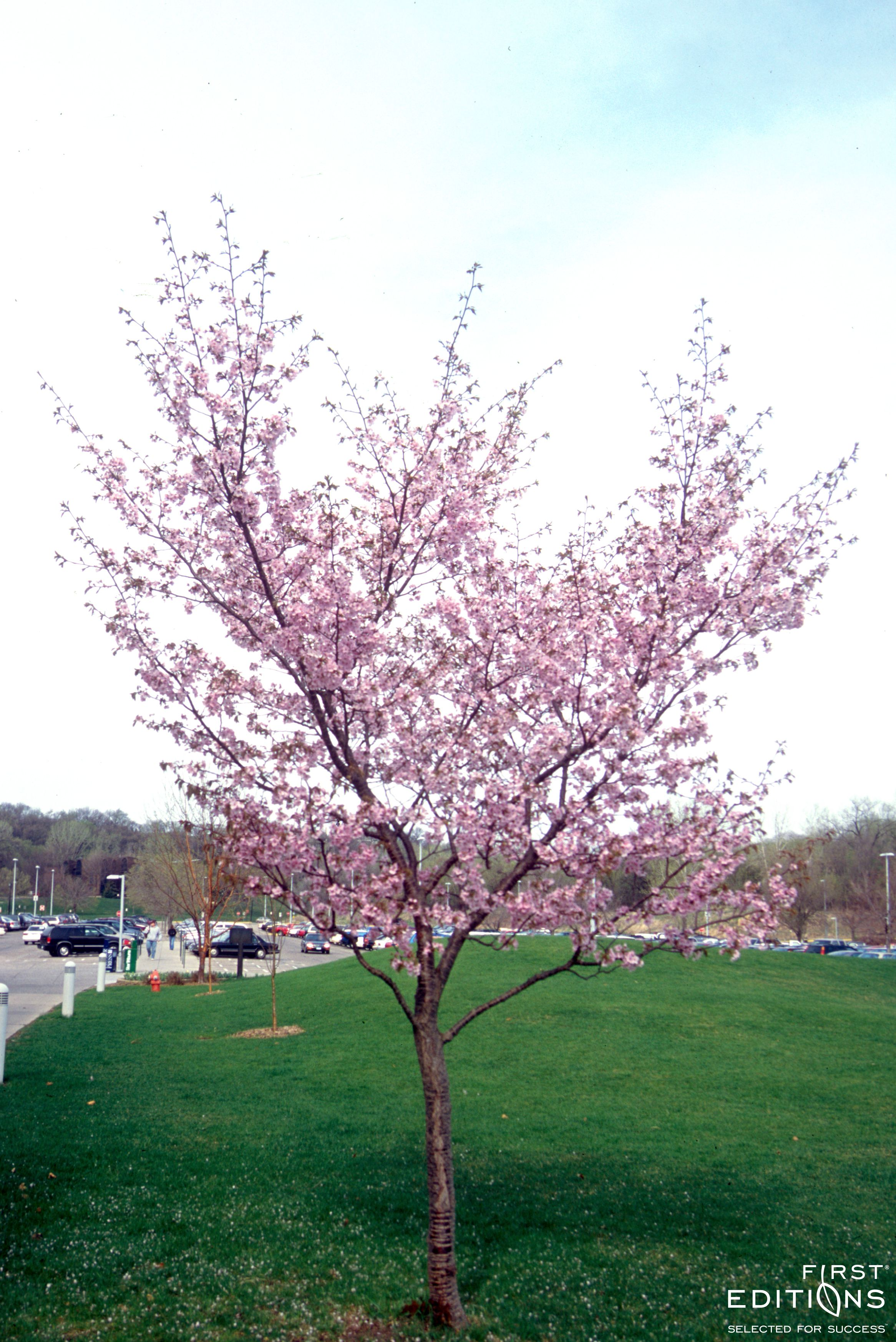 Spring Wonder Sargent Cherry Spring Blooming Trees Plants Tree
