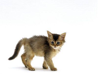 Gato doméstico, gatito abisinio 7-Semana Usual