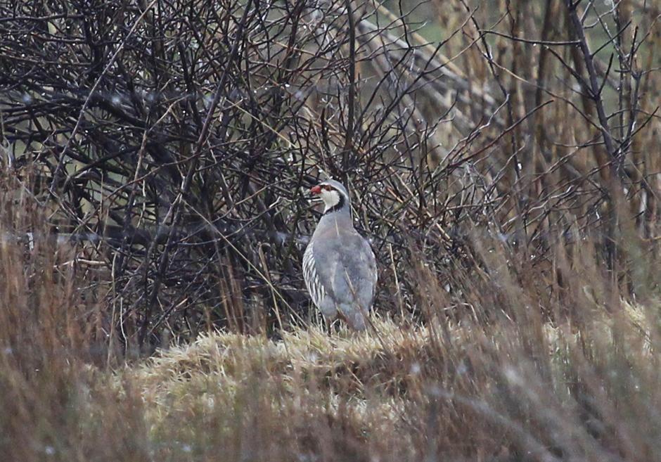 Rock partridge alectoris graeca i saw five birds in pag island rock partridge alectoris graeca i saw five birds in pag island croatia sciox Gallery