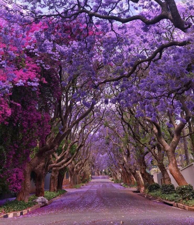 36 Awesome Pics To Cruise On Into The Weekend Jacaranda Tree Flowering Trees Purple Trees