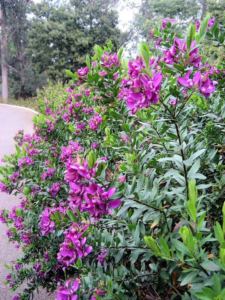 Polygala Myrtifolia O Polígala Arbustos Arbustos De Hoja Perenne Jardines Costeros