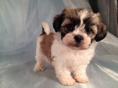 Shih Tzu Bichon Puppy I Need This Puppy Shih Tzu Dogs
