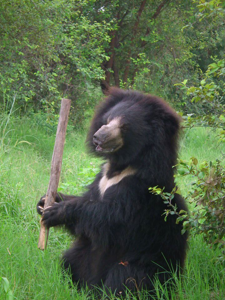 Sloth Bear Photo Courtesy Of Wildlife Sos Two Subspecies Sri Lankan Sloth Bear And Indian Sloth Bear Body Len Sloth Bear Indian Sloth Bear Animal Kindom