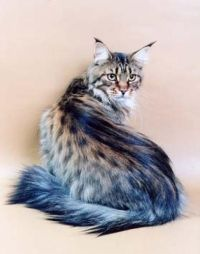 Norwegian Forest Cat Wonder ! The Heart always longs for home !