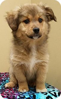 Lexington Ky Border Collie Shih Tzu Mix Meet Wendy A Puppy For