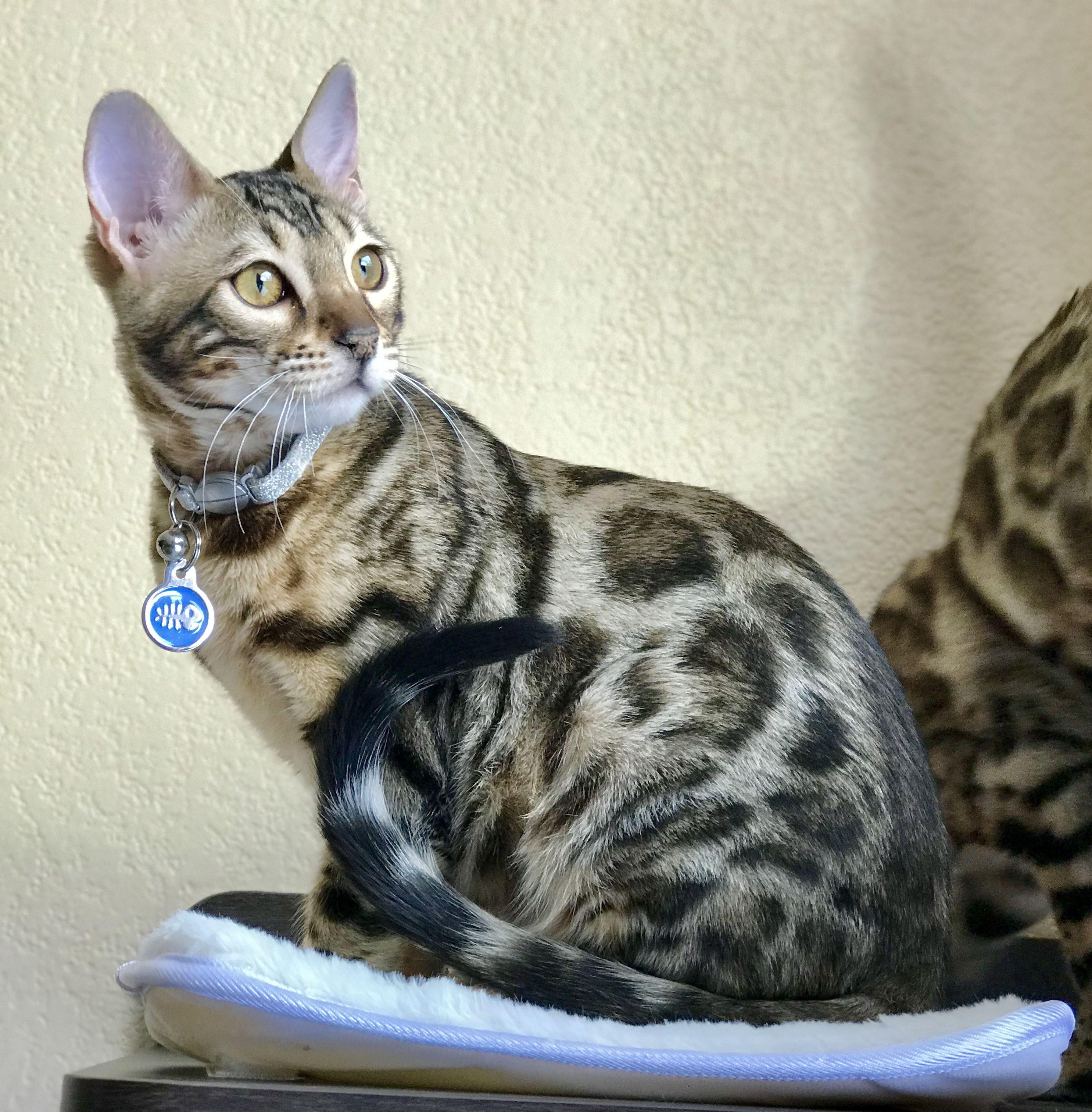 Bengal Kitten Tink At 5 Months Bengal Kitten Bengal Cat Asian Leopard Cat