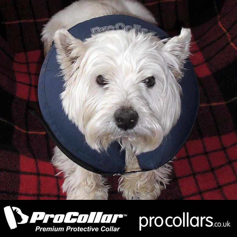 "Meg wearing her Medium ProCollar... ""The service I have"